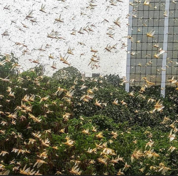 Plague of locust in India, 2020.