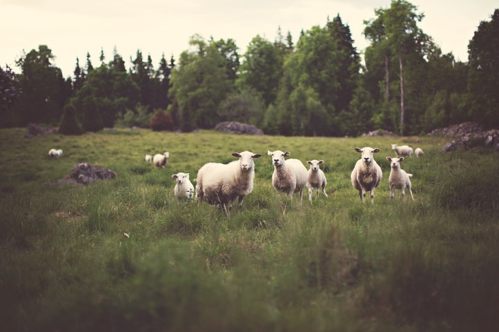 Sheep in green meadows. Psalm 23